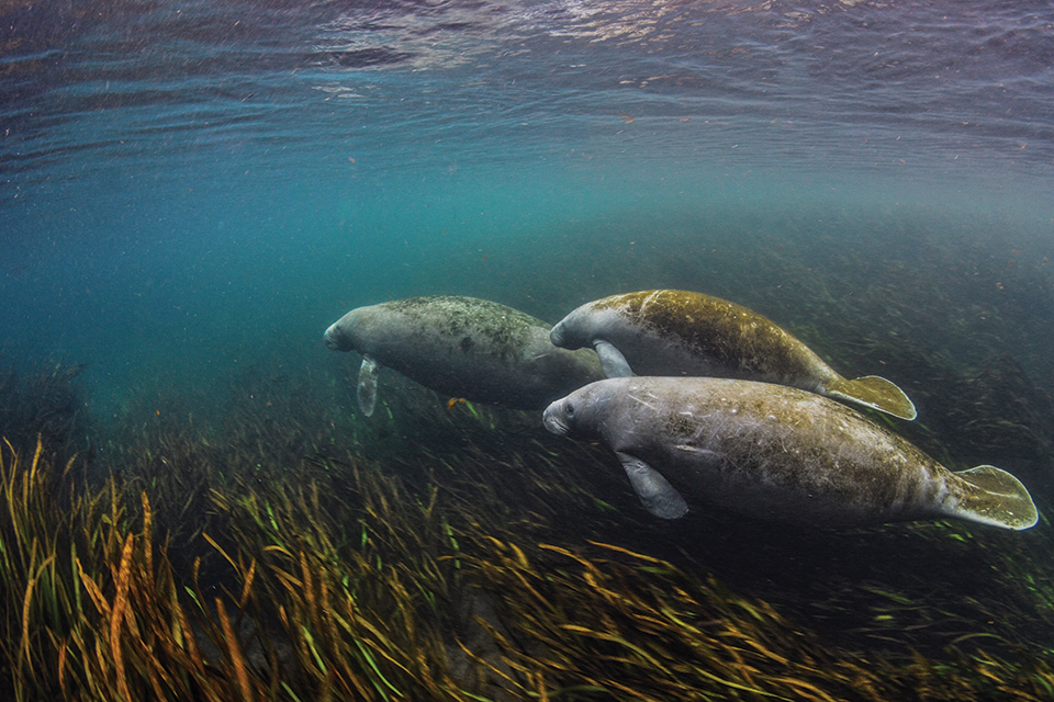 Manatees in the Ichetucknee River; Photograph by Jennifer Adler