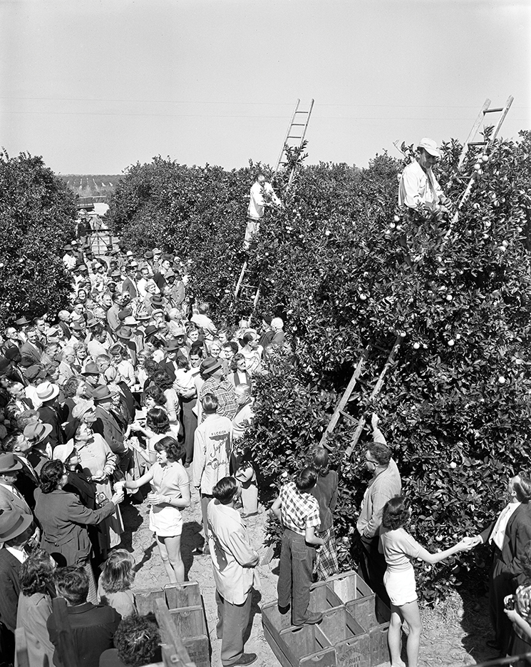 Fruit pickers competing in the second annual National Orange Picking Contest in Orlando, 1951. Photography by Florida Department of Commerce