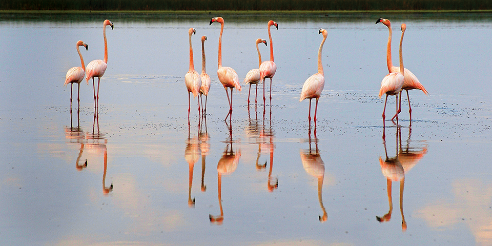 All flamingos live in tropical and subtropical areas. Their habitats include estuarine lagoons, mangrove swamps, tidal flats and sandy islands. Photography by Brian Garrett