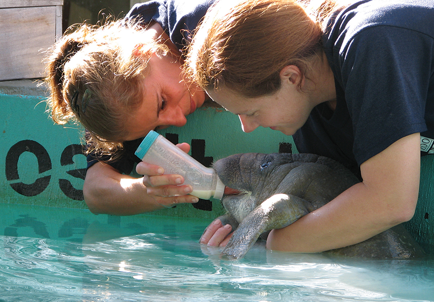 Researchers feed an orphaned manatee at Lowry Park Zoo; Photography courtesy of Lowry Park Zoo