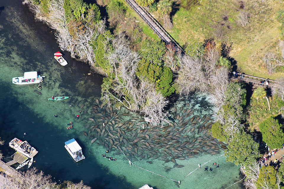 Sea cow squads assemble in Three Sisters Springs in Crystal River; Photography courtesy of Fish and Wildlife Research Institute