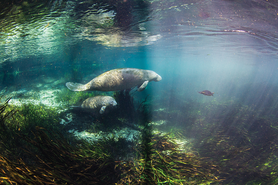 Manatees have been swimming in Florida's waterways for centuries; Photography by Jennifer Adler
