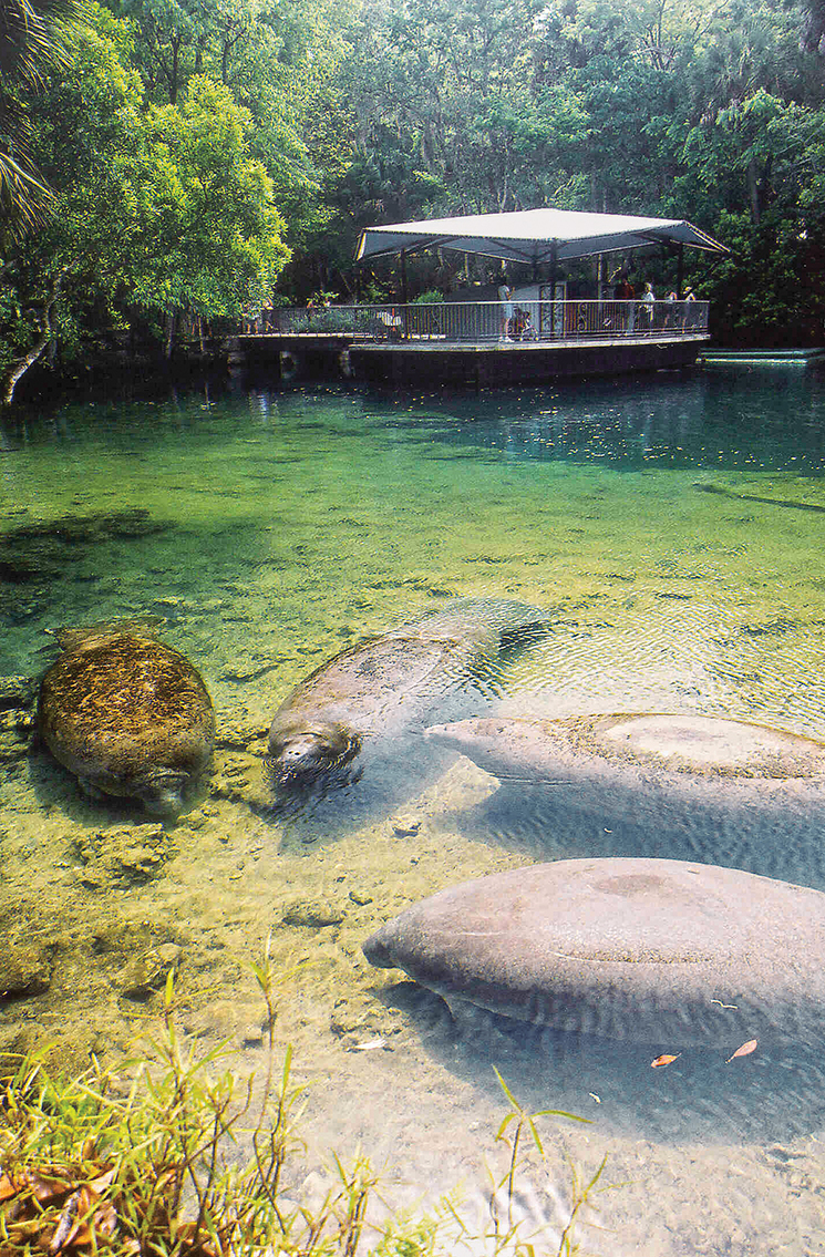 Sea cow squads assemble in Homosassa Springs State Park; Photography courtesy of Homosassa State Park
