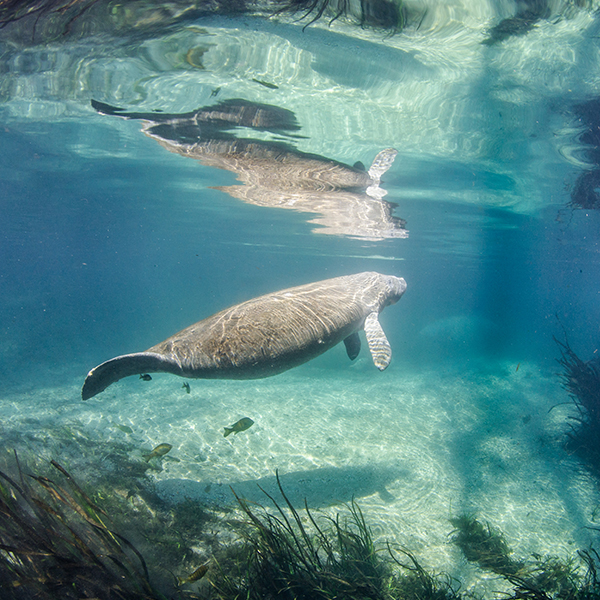 manatees-jennifer-adler-other-600