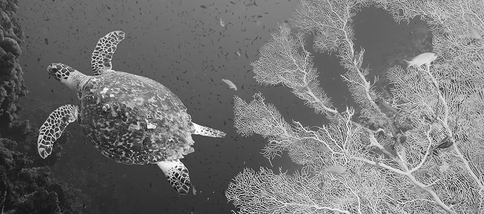 Hawksbill sea turtle (Eretmochelys imbricata) in blue water; Photography by Irochka/adobe stock