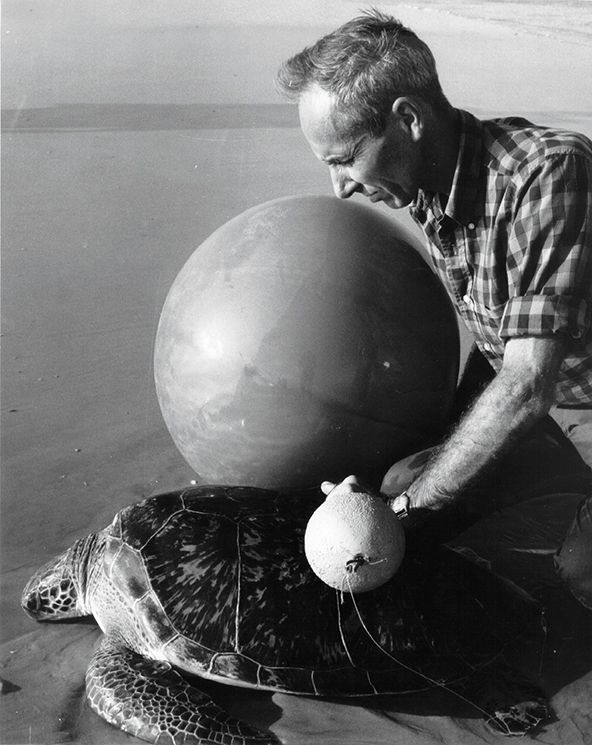 Dr. Archie Carr fixes a helium balloon to a green turtle to track its path. Photography by Sea Turtle Conservancy