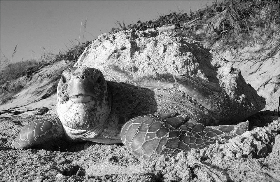 A green turtle rests in the sand before returning to the water. PHOTOgraphy by FWC Fish and Wildlife Research Institute