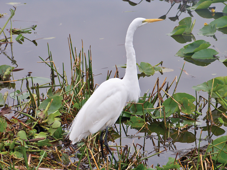 Egrets and hundreds of other species live in the ecoystem; Visit Vero Beach Fellsmere Sebastian