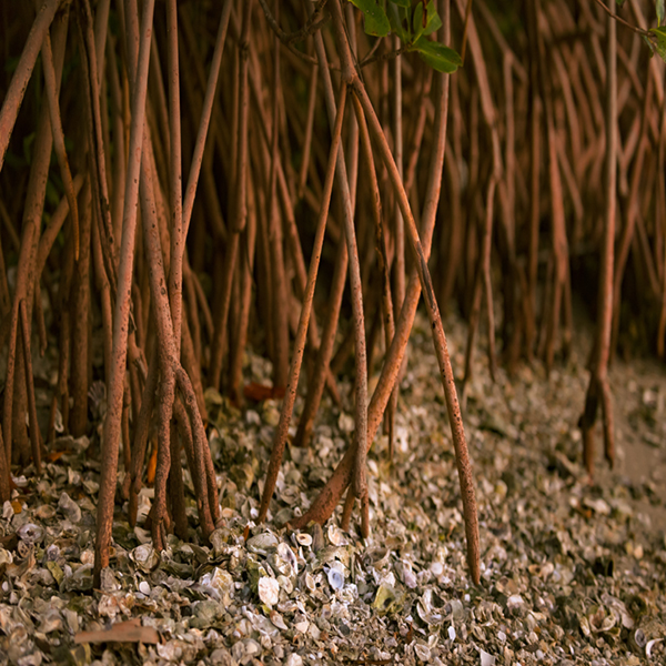 Mangrove tree roots spring from the seabed. Photography iStock