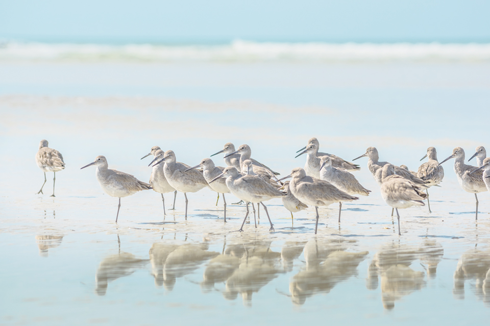 Sandpipers scramble across the Florida shore; Photography by Krzysztof Wiktor