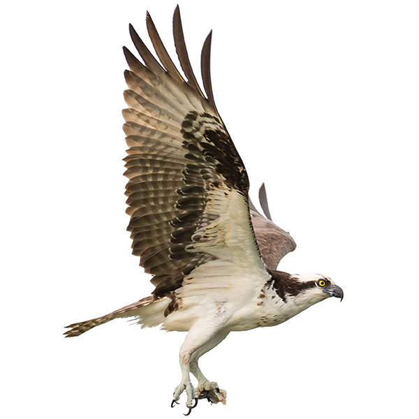 Osprey make their home in the estuary. Photography by iStock