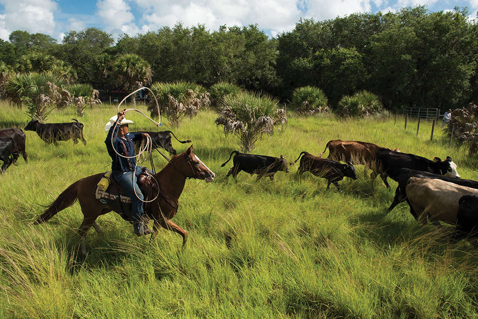 Andre Jumper lassos a cow at the at the Big Cypress Reservation