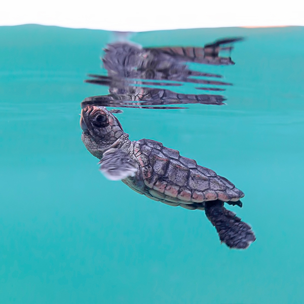 Baby turtle Surfacing for air.