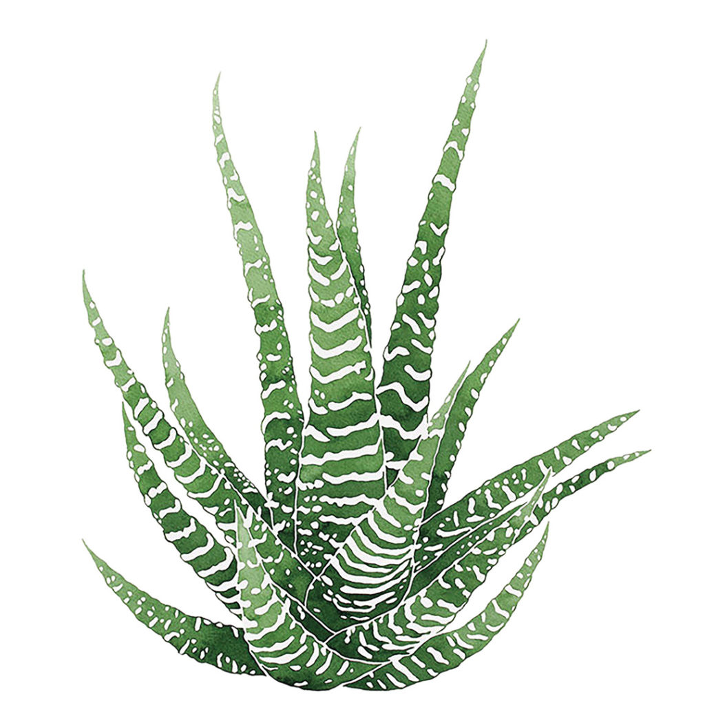 Zebra Haworthia watercolor by Jenny Kiker
