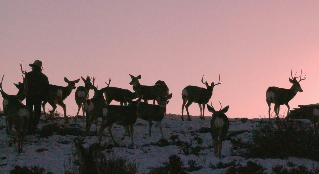 Joe Hutto and a herd of mule deer, heading out in the mountains in Wyoming circa 2014