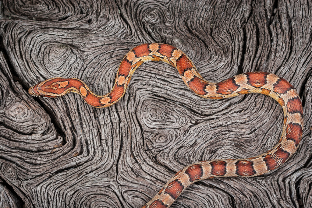 Color and Form  captures one of Kanapaha Prairie's red rattlesnakes making its way over a fallen live oak.