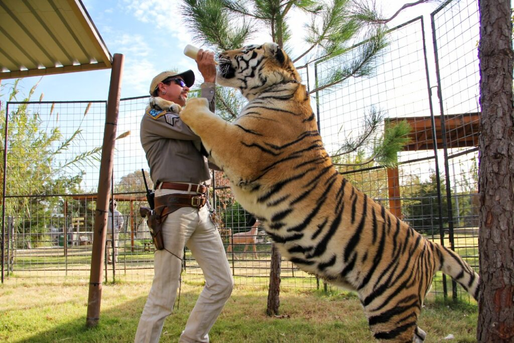 A tiger stands on Joe Exotic's shoulders.