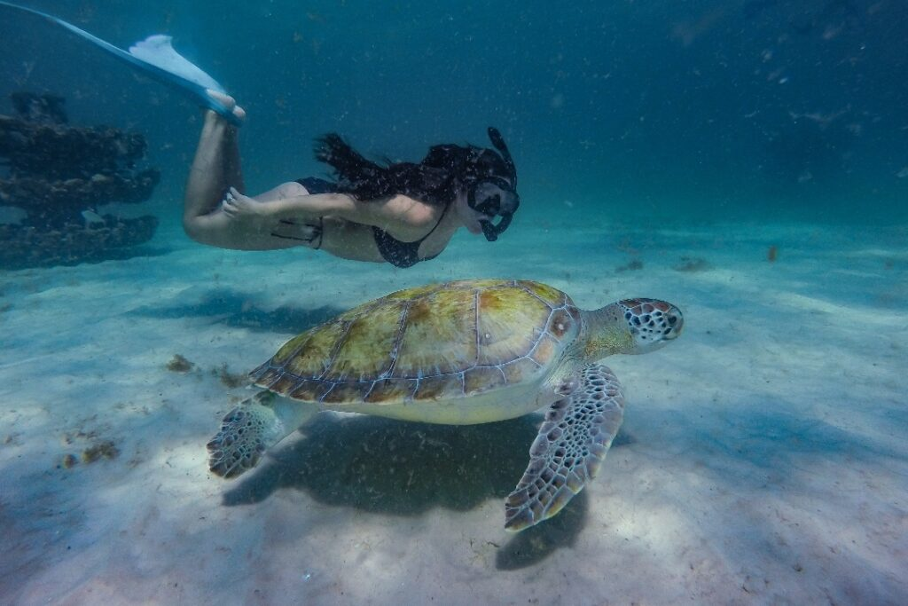 Woman in flippers and swimsuit snorkels with turtle near Navarre Beach Sea Turtle Conservation Center.