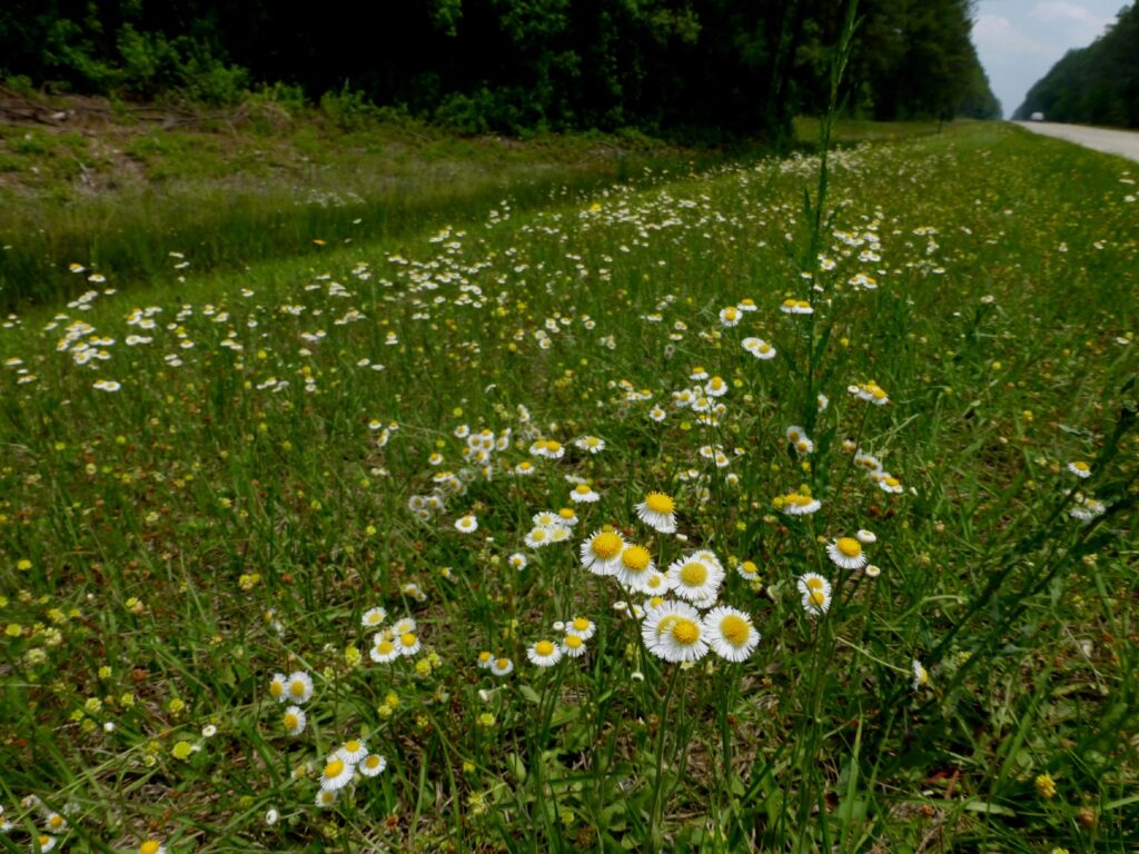 A patch of daisies with yellow centers and white petals.