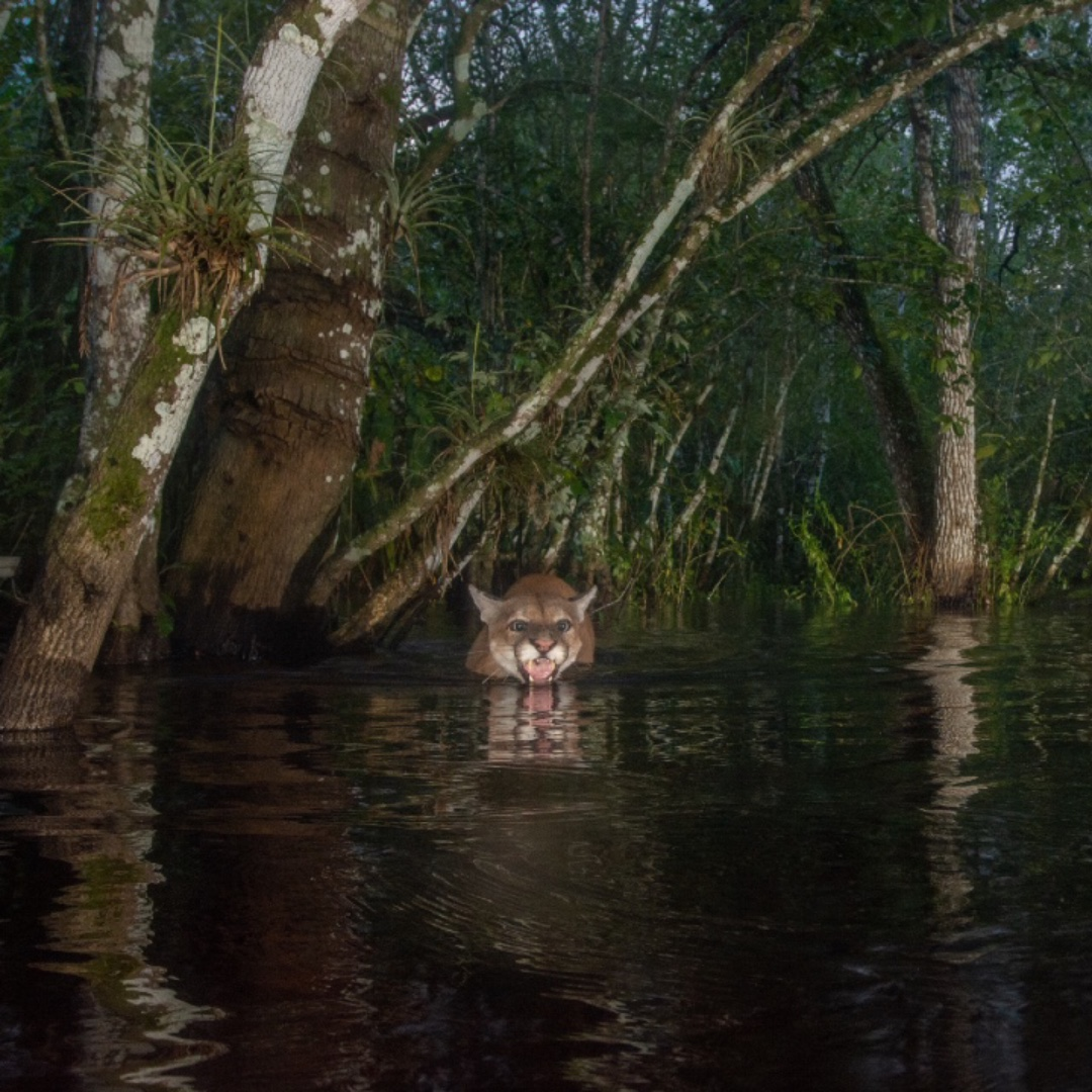 A panther's head emerges from water. In the foreground is a small stretch of dark water and in the background trees rise from the water behind the panther.